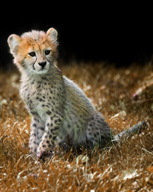 how to draw a real baby cheetah