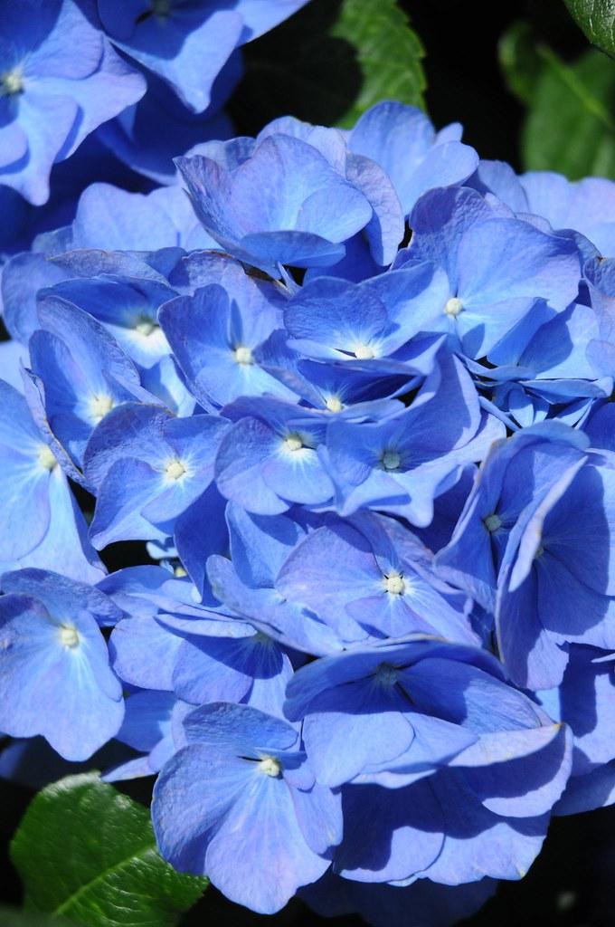 Blaue Hortensie Spa 8073 Chironius Flickr