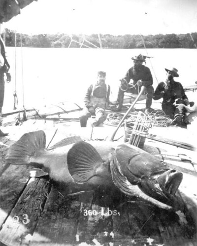 Fishermen with goliath grouper at Jupiter Inlet | by State Library and Archives of Florida