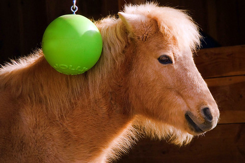 """Jolly"" - The Welsh Pony! 