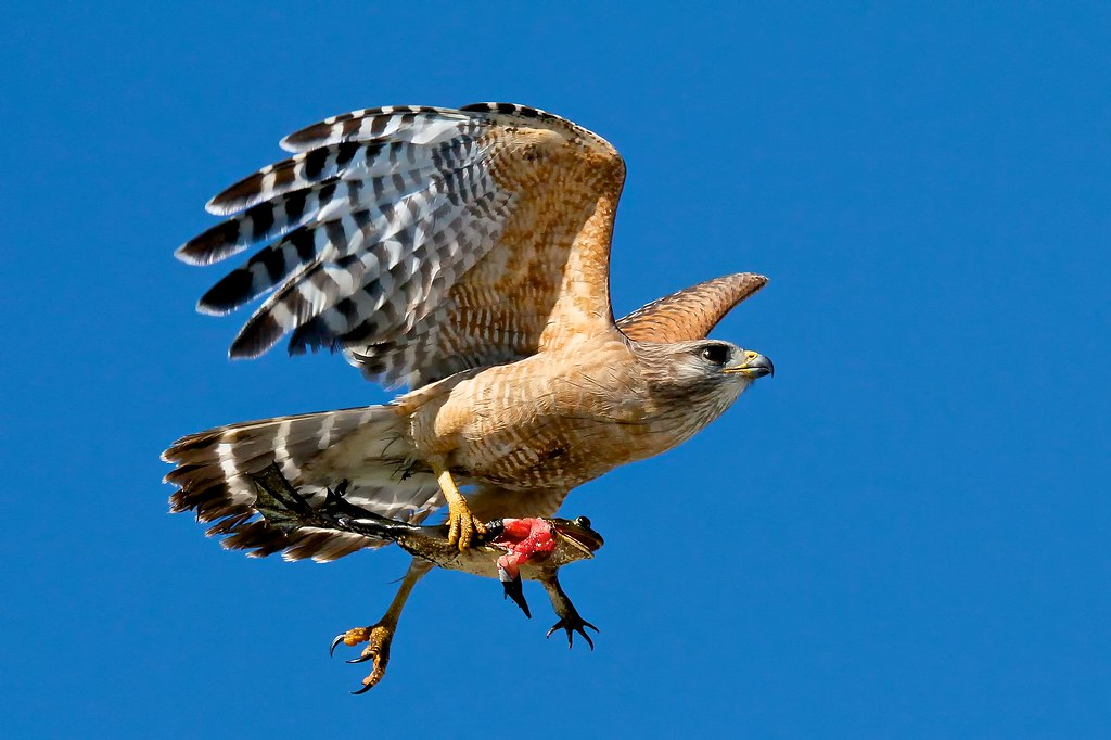 Red Shouldered Hawk Buteo Lineatus With Pig Frog Flickr