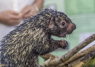 Rothschild's porcupine Gamboa Wildlife Rescue pandemonio 2017 - 01 | by Eva Blue