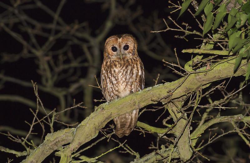 Tawny Owl, Old Warden, 18th February 2017