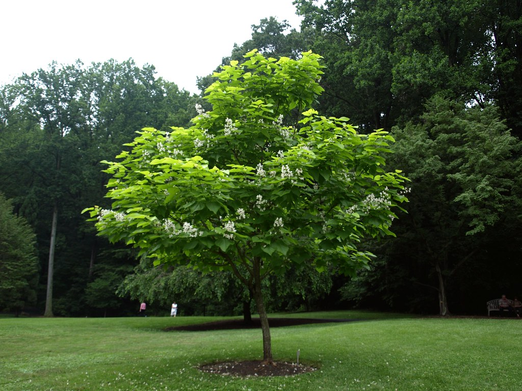 catalpa bignonioides 39 aurea 39 habit 2 klr clemson extension home garden information center. Black Bedroom Furniture Sets. Home Design Ideas