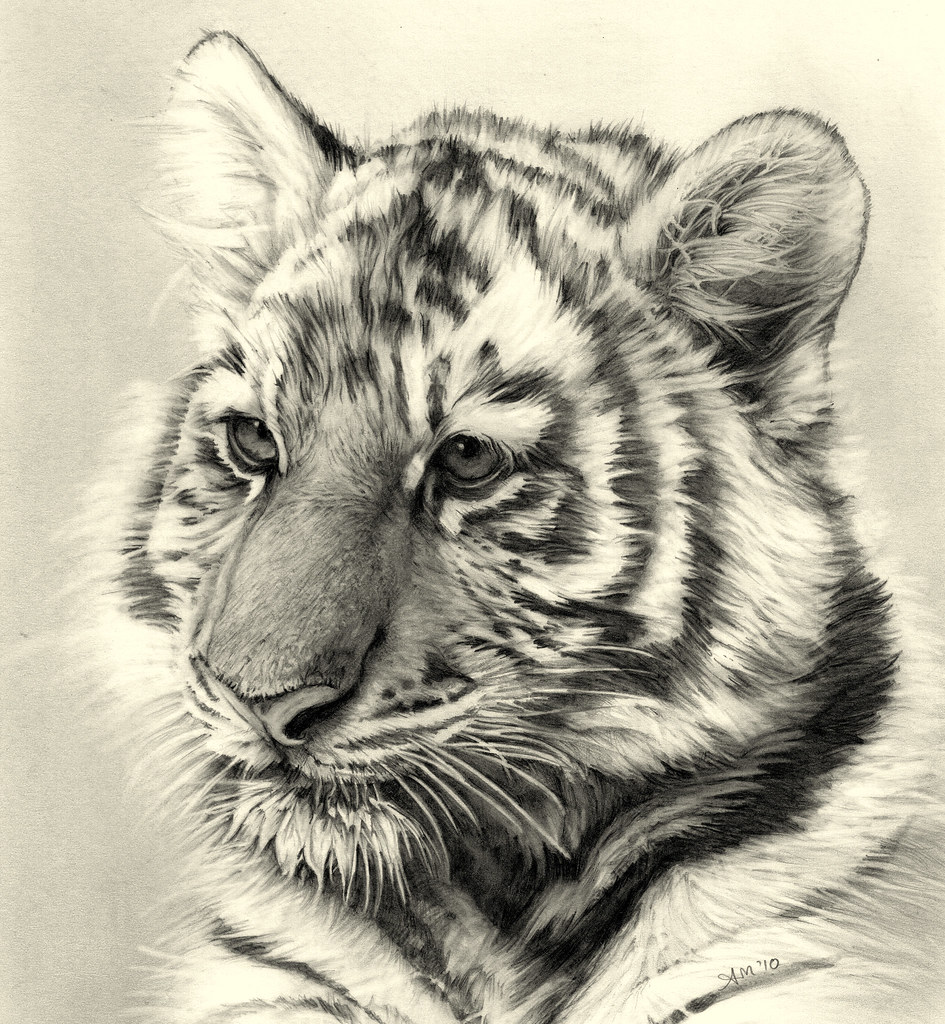 tiger cub pencil drawing | better view Finally finished ...
