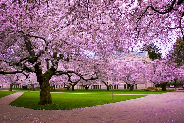 2010 UW Cherry Blossom Photography - Japanese Yoshinos ...