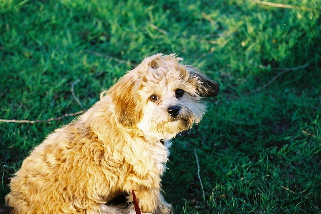 shihpoo-dog-breed