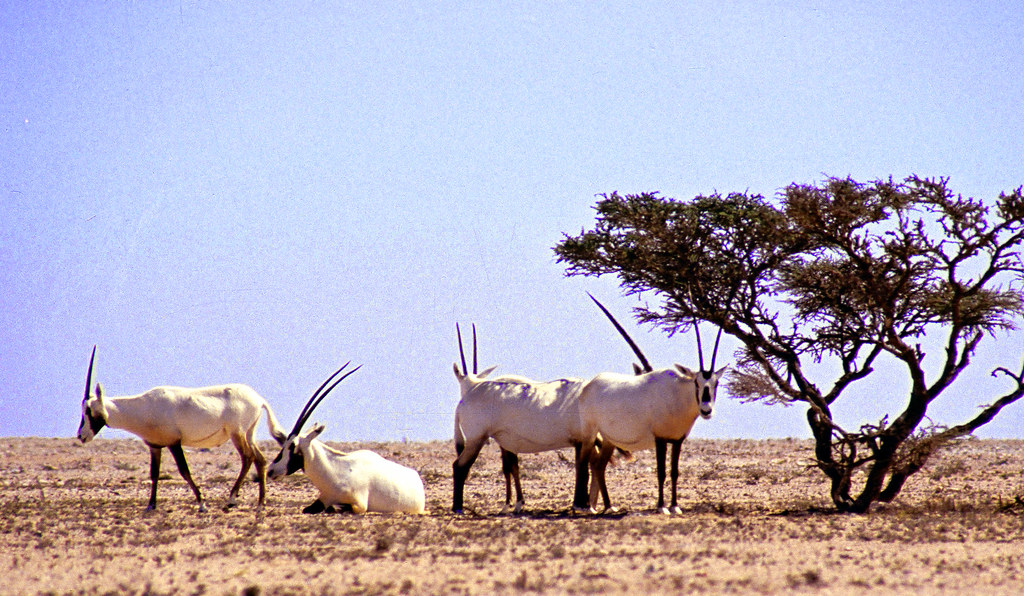 Oryx Natural Reserve AlWusta Oman | In a land where the ...