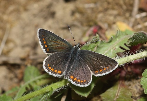 Brown Argus (Aricia agestis) butterfly | by Deanster1983 who's mostly off for a while