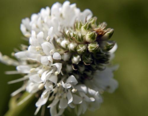 Petalostemum candidum WHITE PRAIRIE CLOVER