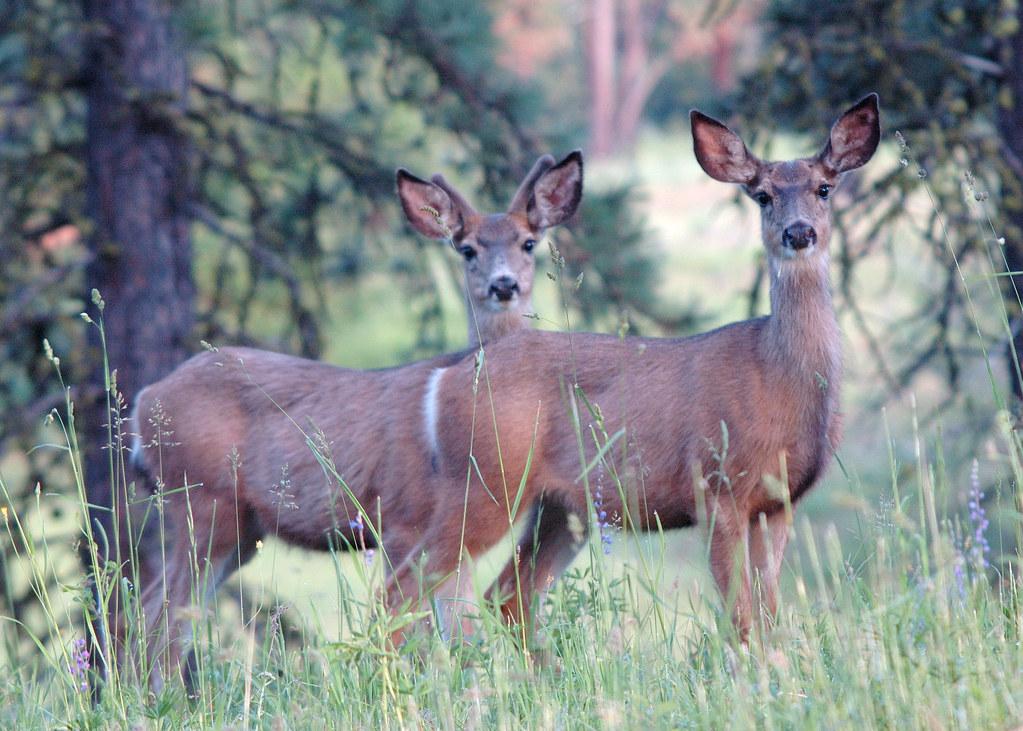09 mule deer eden bench yuskavitch oregon for Oregon department of fish and wildlife jobs