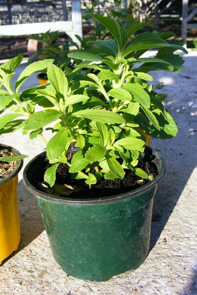 stevia plante a sucre jeune plant de stevia rebaudiana www flickr. Black Bedroom Furniture Sets. Home Design Ideas