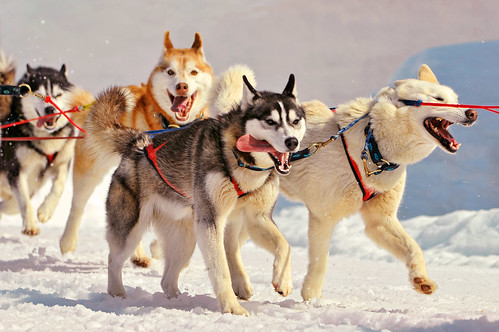 Running huskies | by Tambako the Jaguar