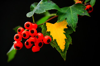 Autumn Red Berries & Leaves | by Dylan MacMaster