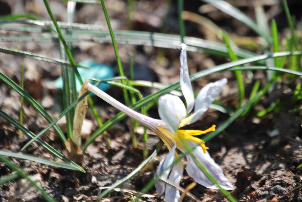 Piante Wallace : Bucaneve il galanthus nivalis l è una