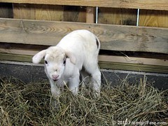 Baby's First Hay 2 | by Farmgirl Susan