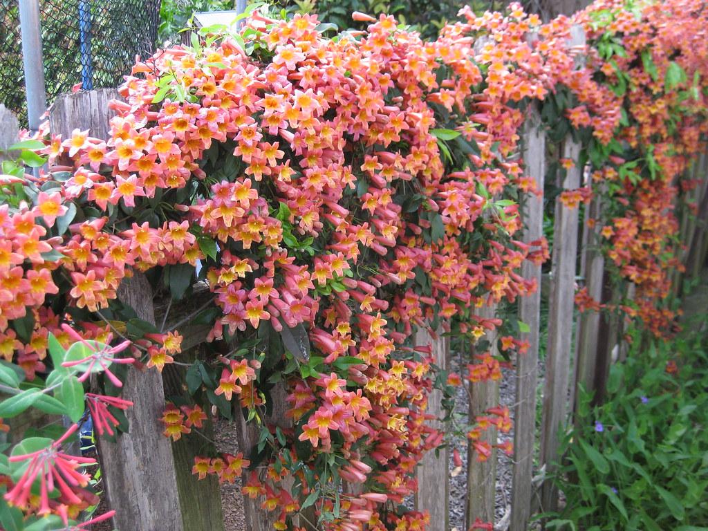 Bignonia Capreolata On Fence Crossvine On Fence I Stood