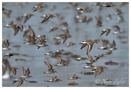 Dunlin and Semipalmated Sandpiper Flock in Flight, Delaware Bay | by Nate Zalik