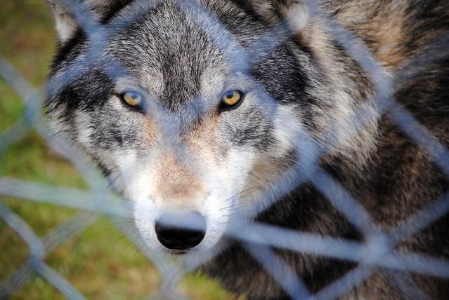 Northwestern Wolf   Fe...