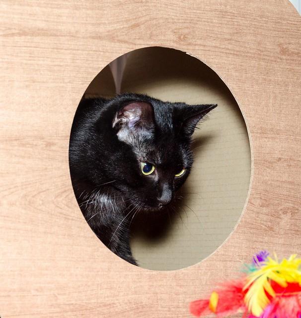 Morgana, gatita negra monísima, juguetona y tímida esterilizada, nacida en Julio´16, en adopción. Valencia. ADOPTADA. 32026331693_981da79ec3_z
