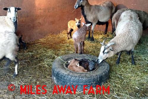 Lambs in a bucket