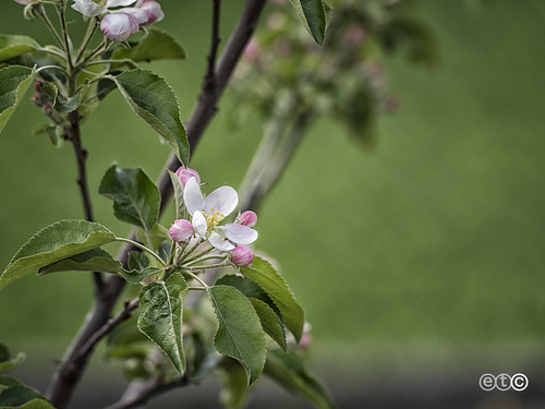 Fior di melo, Apple blossom