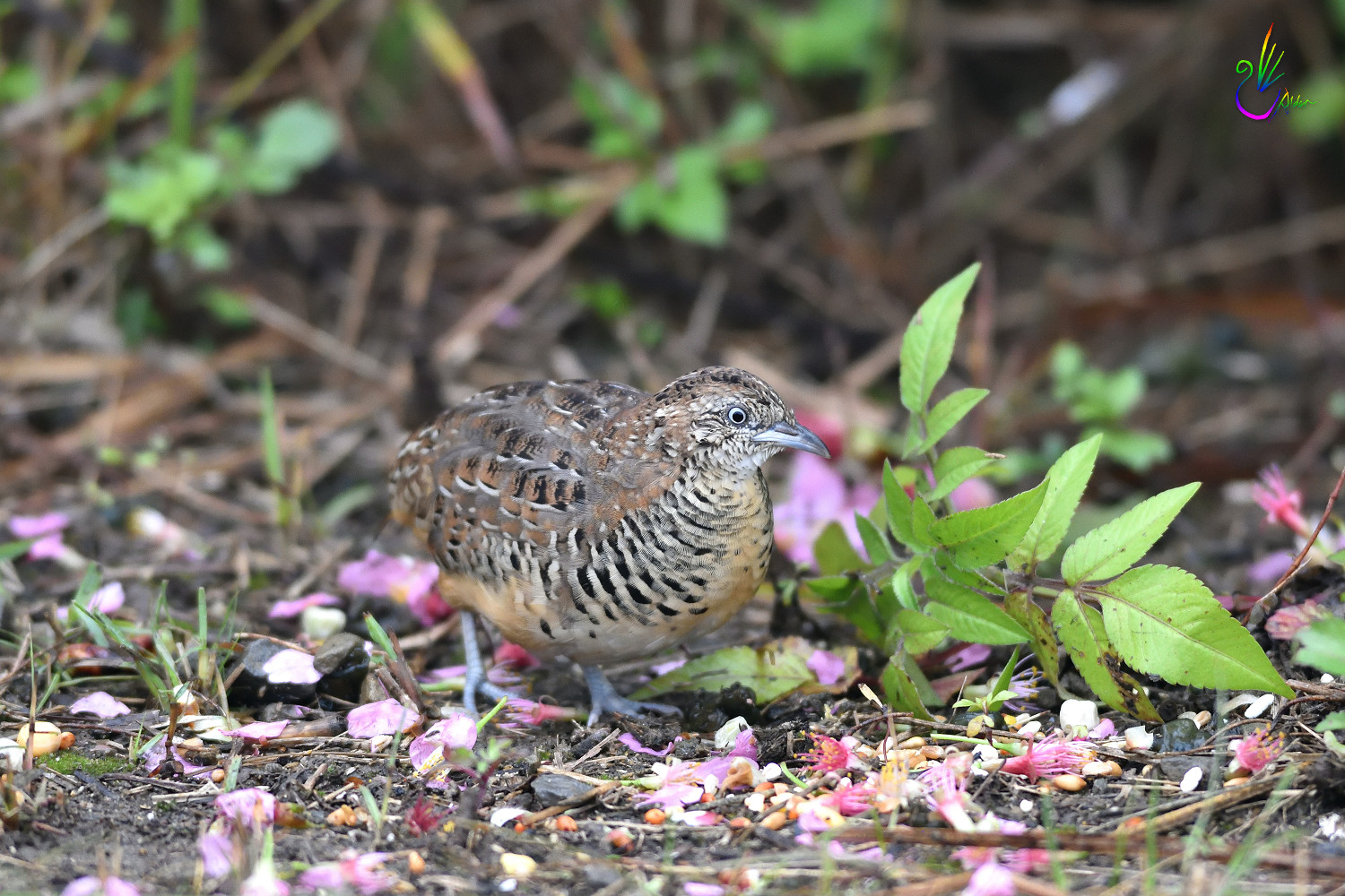 Barred_Buttonquail_7467