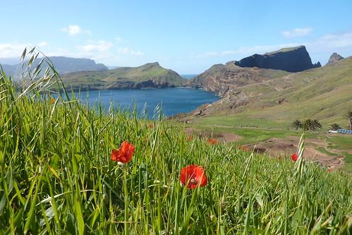 Madeira - Ponta de São Lourenço - poppies
