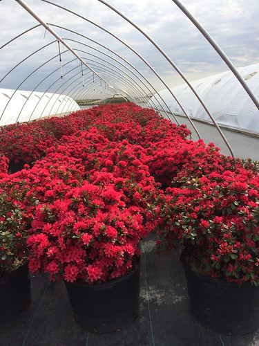 Azalea 'Hino Crimson' #7 | by Johnson Farms
