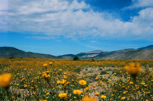 Desert Sunflower and sky
