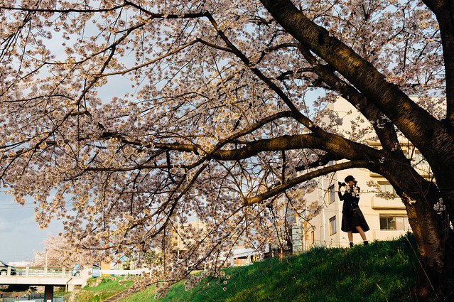 CherryBlossoms_20