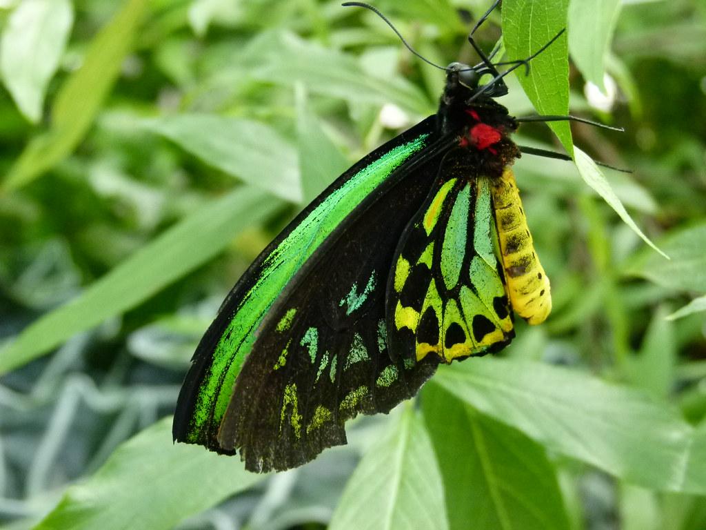 cairns birdwing niagara falls butterfly conservatory. Black Bedroom Furniture Sets. Home Design Ideas
