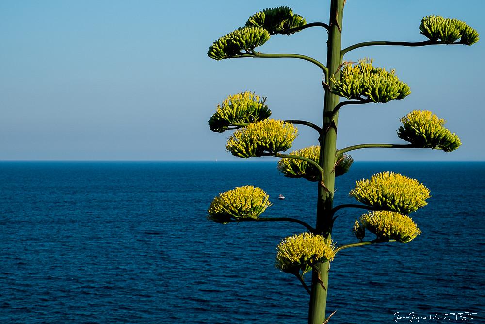 Fleur D Agave Agave Americana Jean Jacques Mattei Flickr