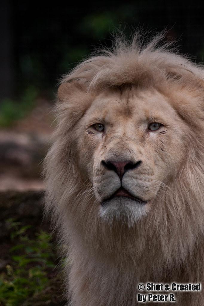 Koning der dieren door zijn woeste uiterlijk en intense 39 o flickr - Tafel leeuw ...