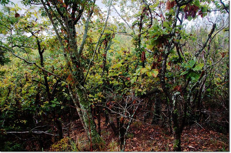 一場山槲樹純林 13
