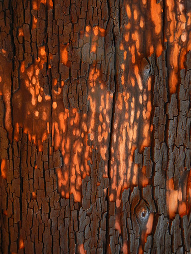 Arbutus bark patterns in orange and black (Victoria, BC, Canada)