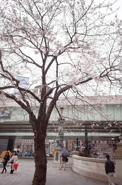 Someiyoshino cherry blossoms at Nihonbashi bridge