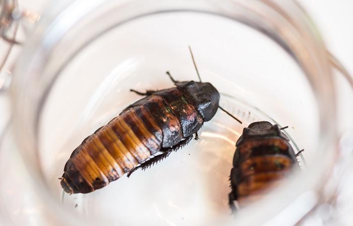 hyönteisten syönti madcook insect torakka hector rufus