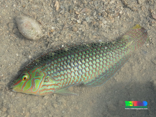 Unidentified wrasse (Family Labridae)