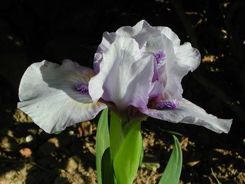 Iris 'Sapphire Jewel'