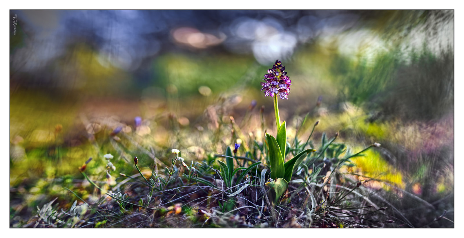 01.- &quot;Orchis purpurea subsp. purpurea...&quot;<br /> - Sorginetxe