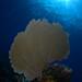 Common Sea Fan, Key Largo, FL