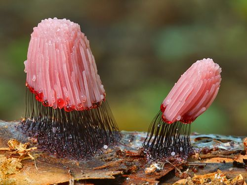 Stemonitis fusca is a species of slime mold that is supported on slender stalks.