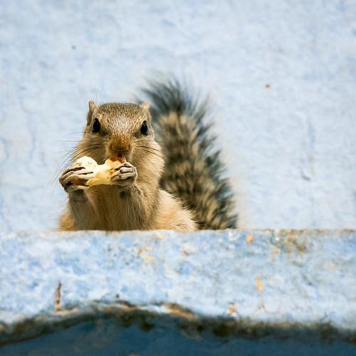 Cute squirrel in old city, Jodhpur, India ジョードプル 旧市街で見つけたリス
