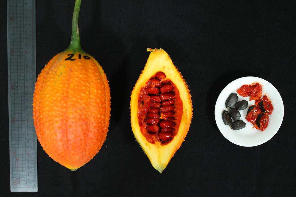 成熟果實(左)、成熟果剖面(中)、假種皮橙紅色內含棕黑色種子(右)。圖片來源:台東農改場。