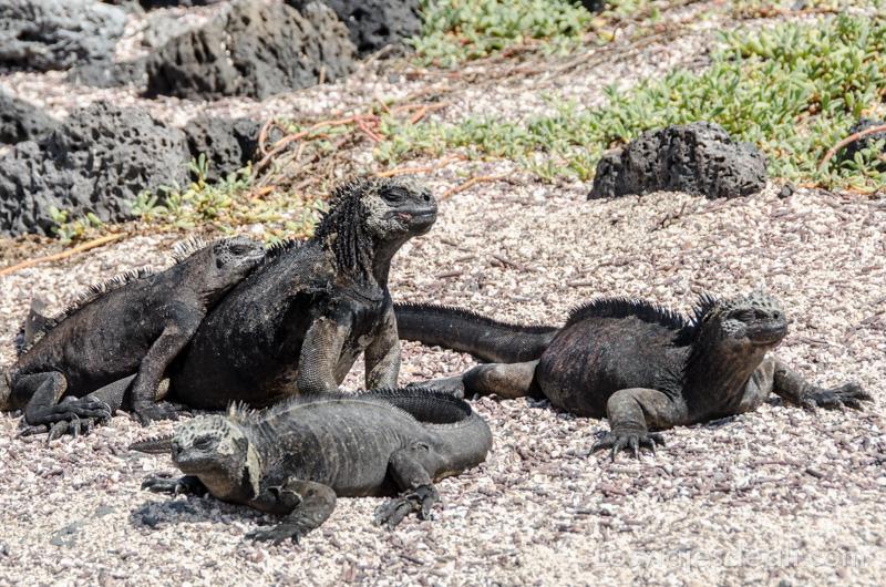 vivir en las islas galapagos iguanas