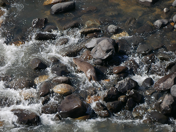 Otter Makes His Way Across the Riverbed