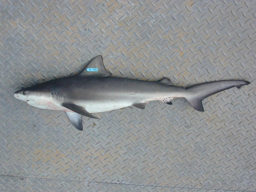 Shark Juvenile Juvenile Bull Shark | Flickr
