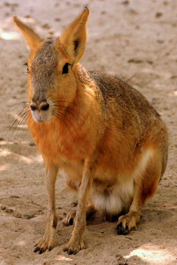 Patagonian Cavy - Montgomery Zoo | This is one of those ...