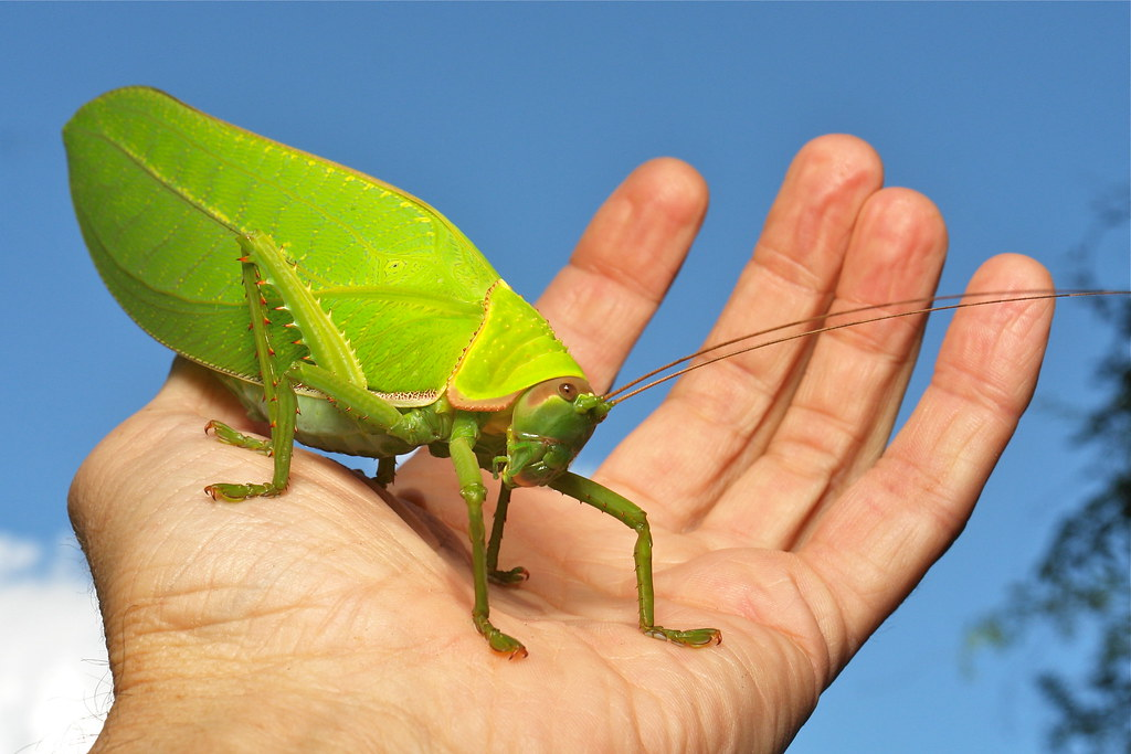 Giant False Leaf Katydid (Pseudophyllus titan, Pseudophyll ...